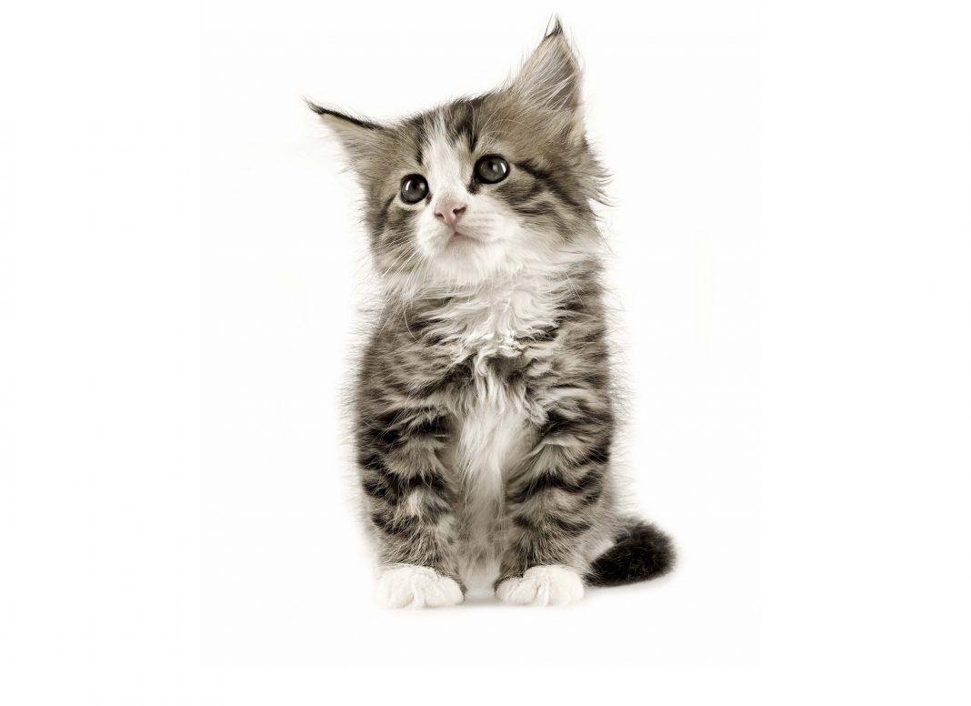 huile essentielle chez le chat
