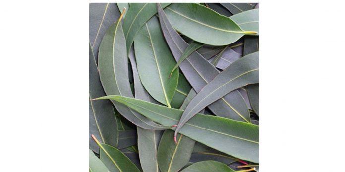eucalyptus mentholé