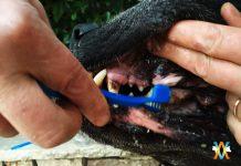 Soin des dents de son chien