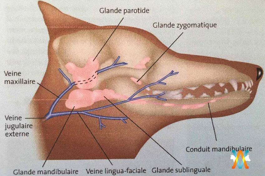 mucocoele sublinguale ou ranula