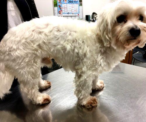 Malassézia chien poil clair