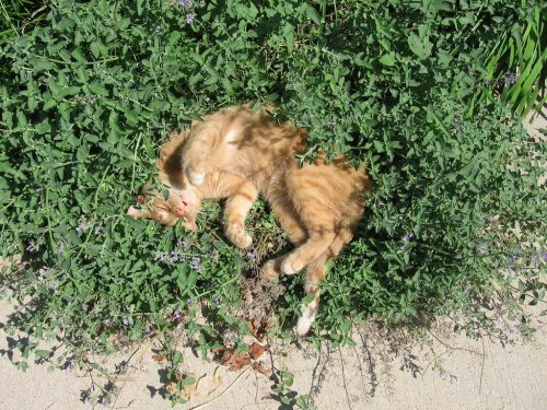 chat herbe aux chats