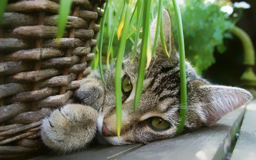 chat herbe à chat