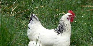 Coryza des gallinacés
