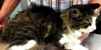calculs vésicaux chat